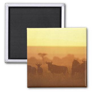 Kenya, Masai Mara Game Reserve, Herd of Square Magnet