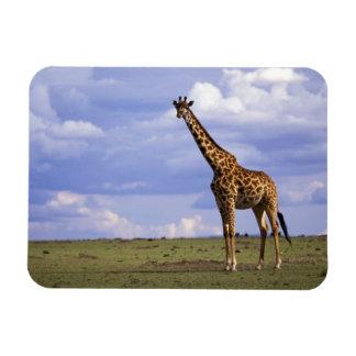 Kenya, Masai Mara Game Reserve. Kenyan Giraffe Magnets