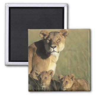 Kenya, Masai Mara Game Reserve, Lion cubs Fridge Magnet