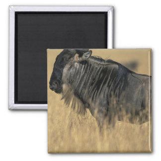 Kenya, Masai Mara Game Reserve, Wildebeest Magnet