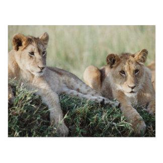 Kenya, Masai Mara, Lion Cubs sitting Postcard