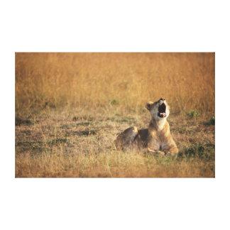 Kenya, Masai Mara National Reserve, Lioness Canvas Print