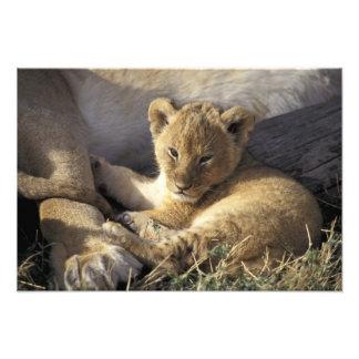 Kenya, Masai Mara. Six week old Lion cub Photo