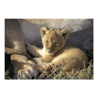Kenya, Masai Mara. Six week old Lion cub Photograph