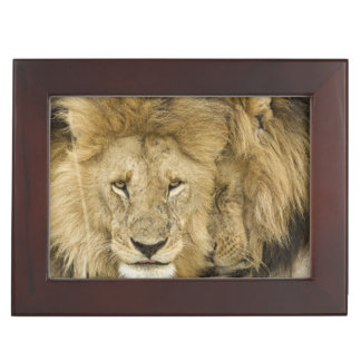 Kenya, Masai Mara. Two lions resting face to Keepsake Box