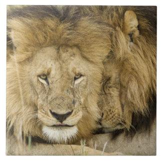 Kenya, Masai Mara. Two lions resting face to Tile