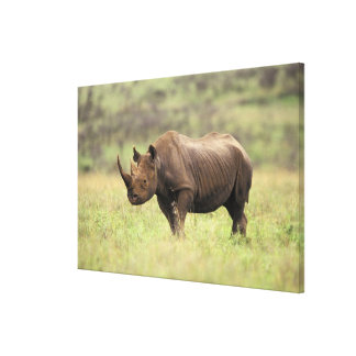 Kenya, Nairobi National Park. Black Rhinoceros Canvas Print