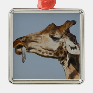 Kenya, Nakuru National Park. Rothschild's Christmas Ornament