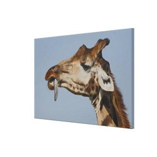 Kenya, Nakuru National Park. Rothschild's Stretched Canvas Print