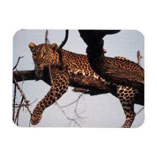 Kenya, Samburu Game Reserve Kenya, Leopard Rectangular Photo Magnet