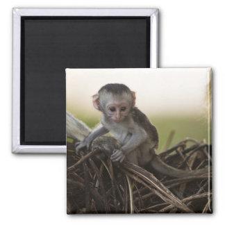 Kenya, Samburu Game Reserve. Vervet Monkey Magnet