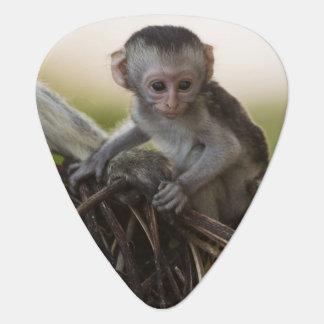 Kenya, Samburu Game Reserve. Vervet Monkey Plectrum