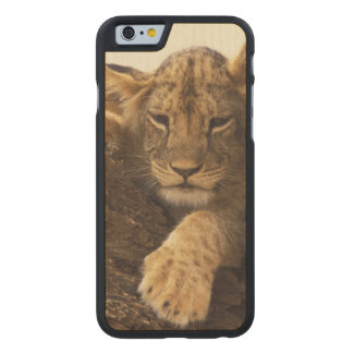 Kenya, Samburu National Game Reserve. Lion cub Carved Maple iPhone 6 Case