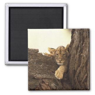 Kenya, Samburu National Game Reserve. Lion cub Square Magnet