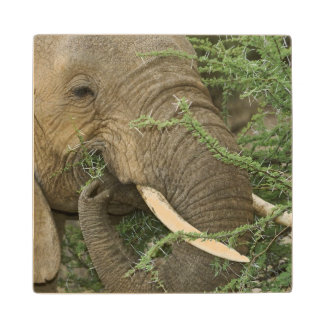 Kenya, Samburu National Reserve. Close-up of Wood Coaster