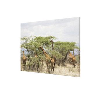 Kenya, Samburu National Reserve. Rothschild Gallery Wrap Canvas