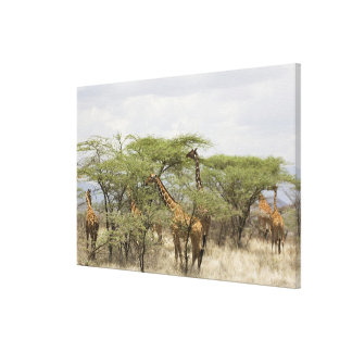 Kenya, Samburu National Reserve. Rothschild Canvas Print