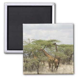 Kenya, Samburu National Reserve. Rothschild Refrigerator Magnet