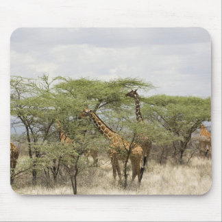 Kenya, Samburu National Reserve. Rothschild Mouse Mat