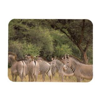 Kenya: Shaba National Reserve, herd of Grevy's Flexible Magnet