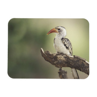 Kenya, Sumburu National Reserve, Red-billed Magnet