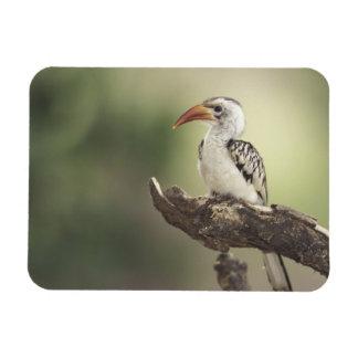 Kenya, Sumburu National Reserve, Red-billed Rectangular Photo Magnet
