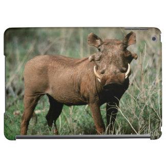 Kenya, Warthog looking at camera