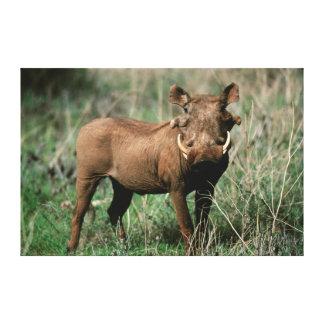 Kenya, Warthog looking at camera Canvas Print