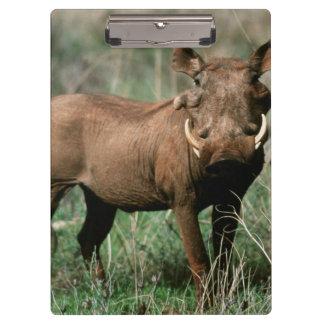 Kenya, Warthog looking at camera Clipboard