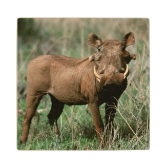 Kenya, Warthog looking at camera Wood Coaster