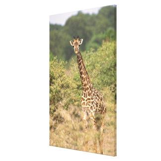 Kenyan giraffe canvas print