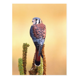 Kestrel, Falco sparverius, Native to US & Canada Postcard