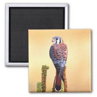 Kestrel, Falco sparverius, Native to US & Canada Square Magnet