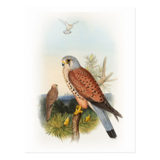 Kestrel Falcon John Gould Birds of Great Britain Postcard