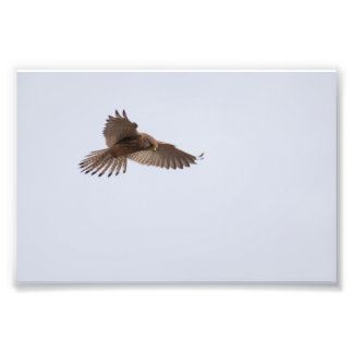 Kestrel Photo Print