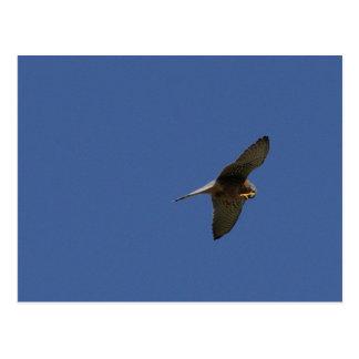 Kestrel, Turmfalke, falco tinnunculus Postcard