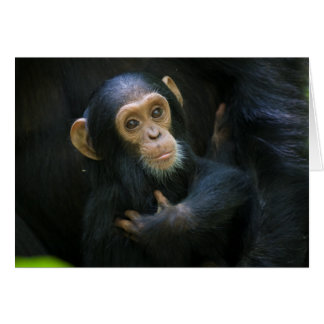 Kibale Chimpanzee Infant Greeting Card