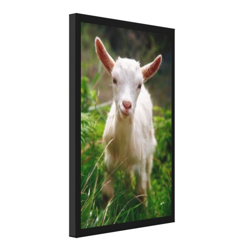 Kid Goat Gallery Wrap Canvas