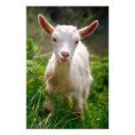 Kid Goat Photo