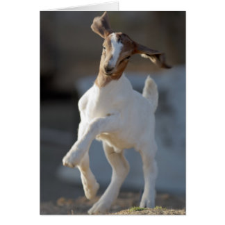 Kid goat playing in ground. card