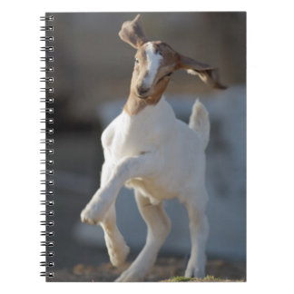 Kid goat playing in ground. notebooks
