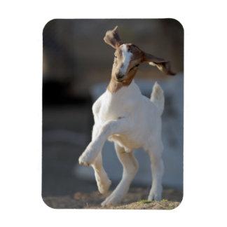 Kid goat playing in ground. rectangular photo magnet