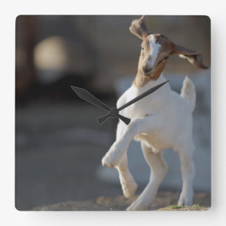 Kid goat playing in ground. square wall clock