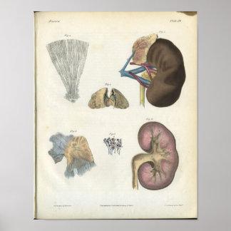 Kidney Anatomy Print