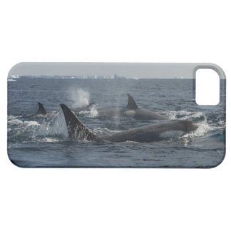 killer whale iPhone 5 cover