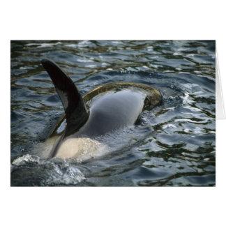 Killer Whale, Orca, Orcinus orca), adult Card
