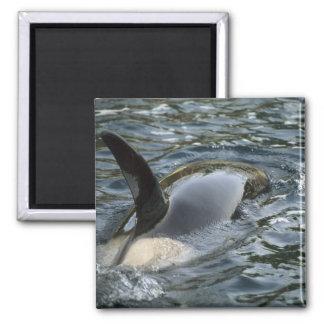 Killer Whale, Orca, Orcinus orca), adult Magnet