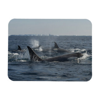killer whale rectangular photo magnet