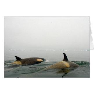 killer whales (orcas), Orcinus orca, pod 2 Card