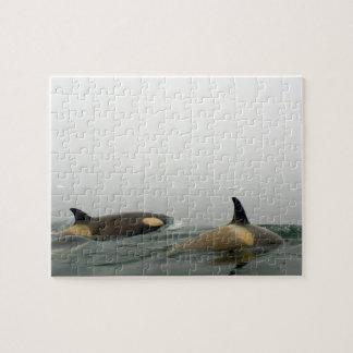 killer whales (orcas), Orcinus orca, pod 2 Jigsaw Puzzle